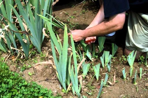 стрижка ирисов после цветения