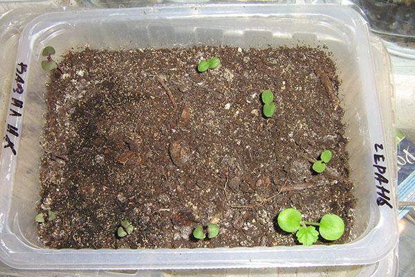 всходы семян пеларгонии
