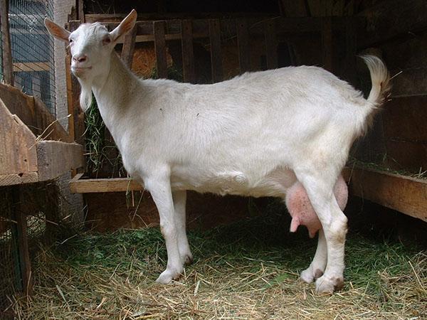выбор дойной козы