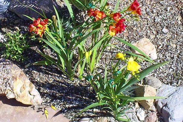 выращивание фрезии в открытом грунте