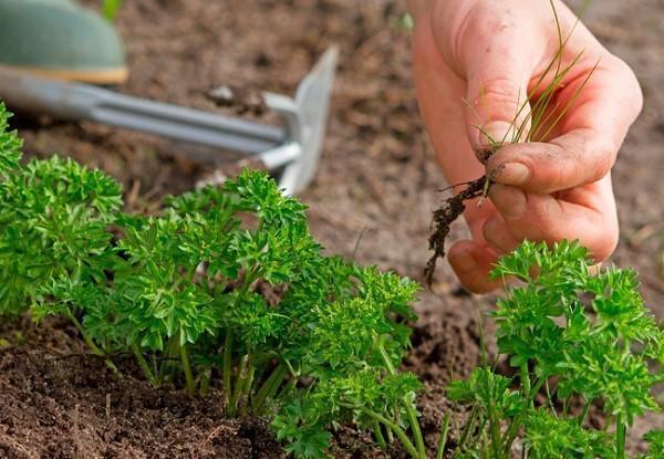 выращивание петрушки в открытом грунте