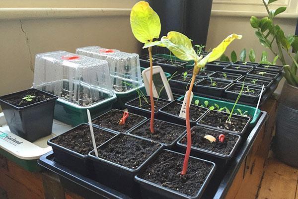 выращивание рассады клещевины