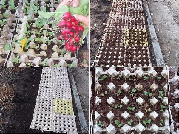 выращивание редиса в яичных лотках