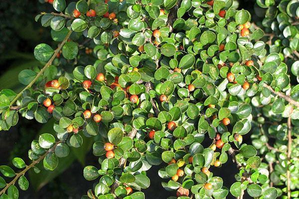 ягоды кизильника горизонтального