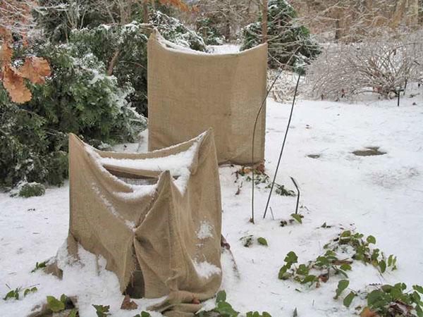 защита гортензии зимой