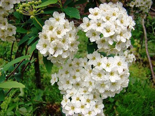 белоснежные цветы спиреи