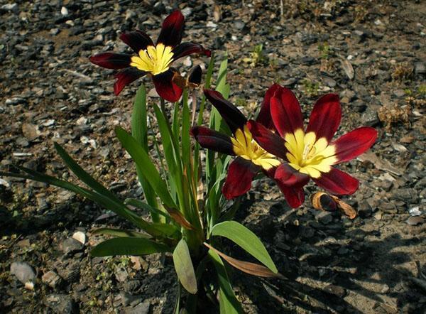 цветет трехцветный спараксис