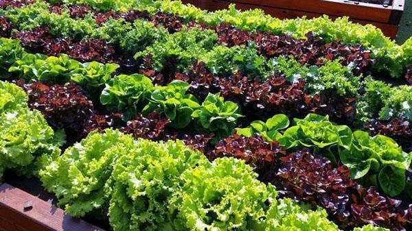 грядка с салатом разных сортов
