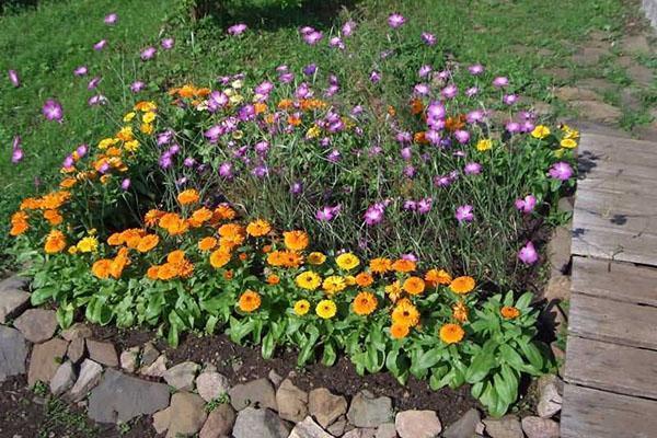 календула в цветнике