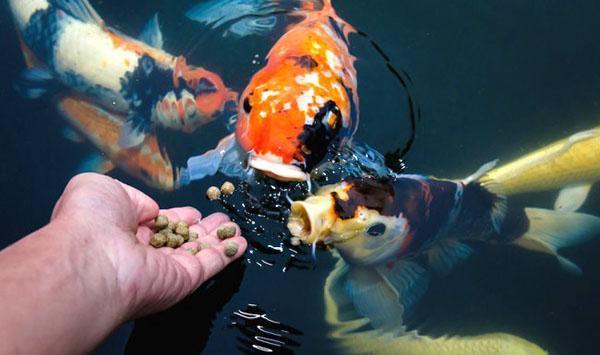 кормление прудовых рыб