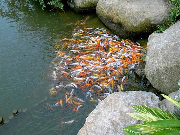 кормление рыбы в домашнем пруду