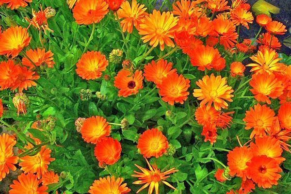 Можно ли календулу выращивать как комнатное растение