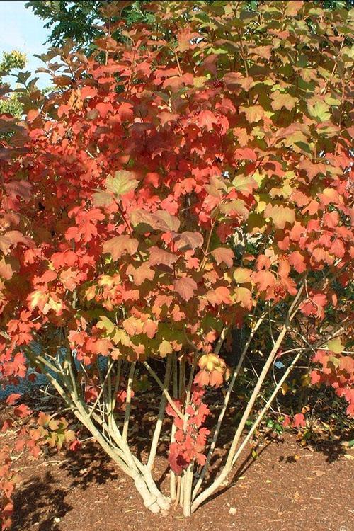 листья калины бульденеж осенью