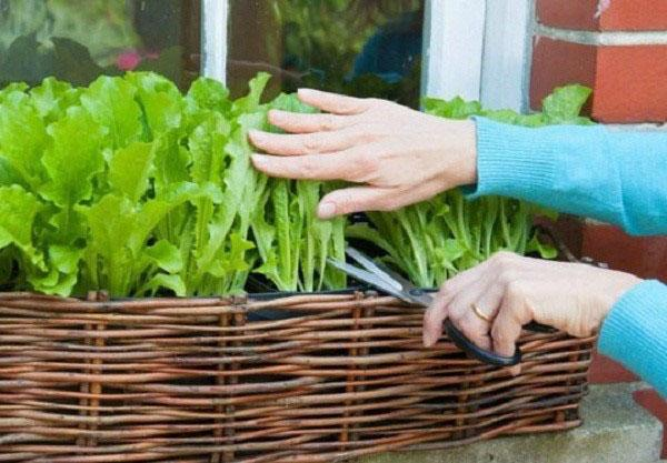 листовой салат на подоконнике