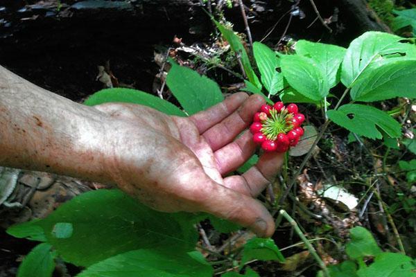 листья цветы и плоды женьшеня не обладают полезными свойствами