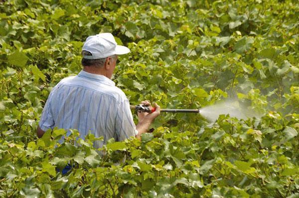 Медный купорос для винограда как разводить для обработки и опрыскивания