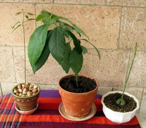 молодой авокадо