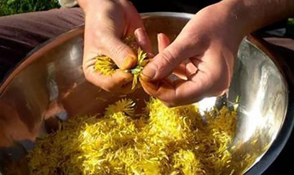 подготовка лепестков одуванчика к переработке