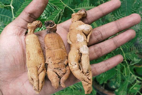 полезный для здоровья корень женьшеня