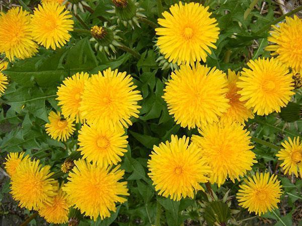солнечные полезные цветы