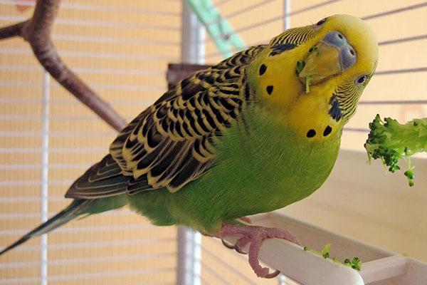 попугайчики любят зелень