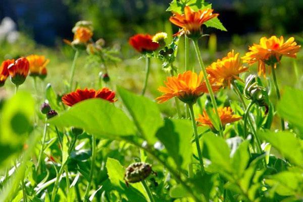 пора собирать цветы календулы