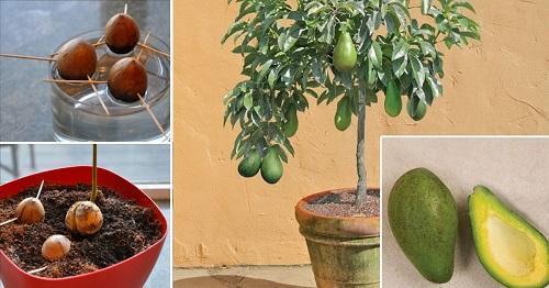 посадка авокадо