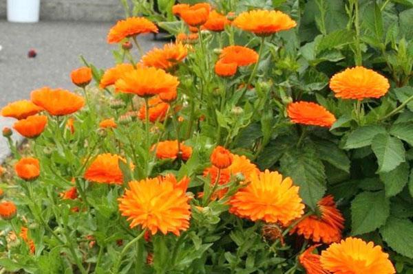 пышное цветение календулы на клумбе