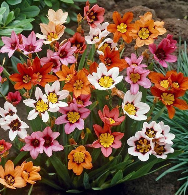 разноцветный спараксис в саду