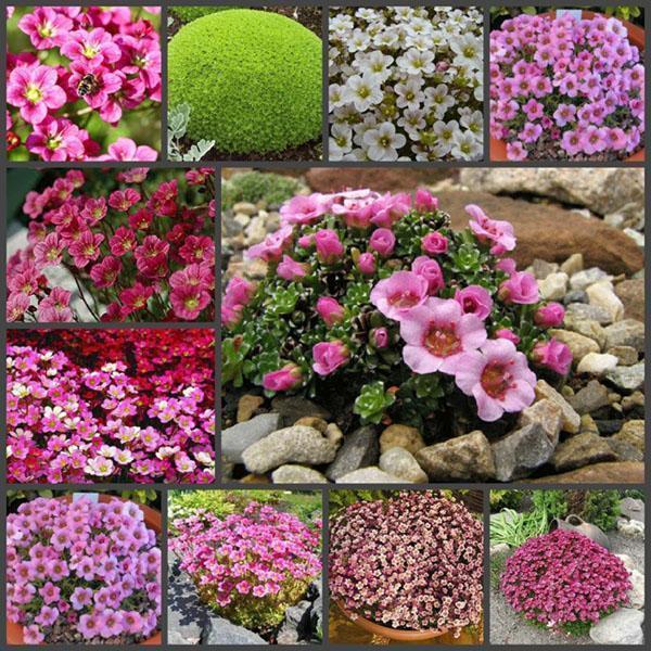 разновидности камнеломки