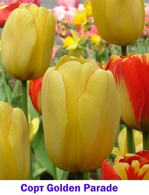 Среднеранний тюльпан сорта Golden Parade