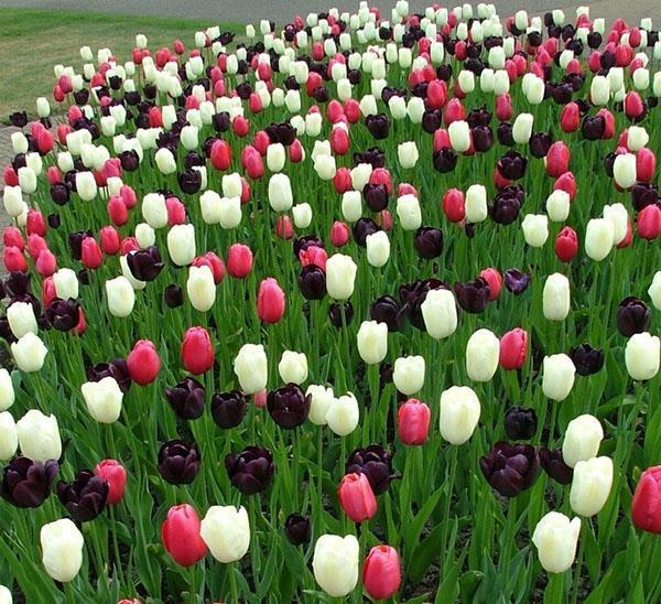 поздние простые тюльпаны