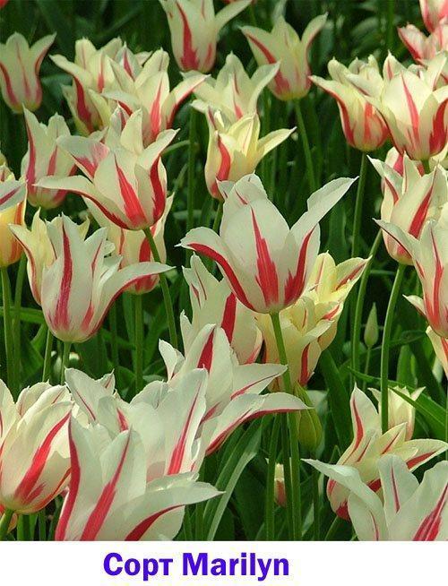 Фото тюльпана сорта Marilyn