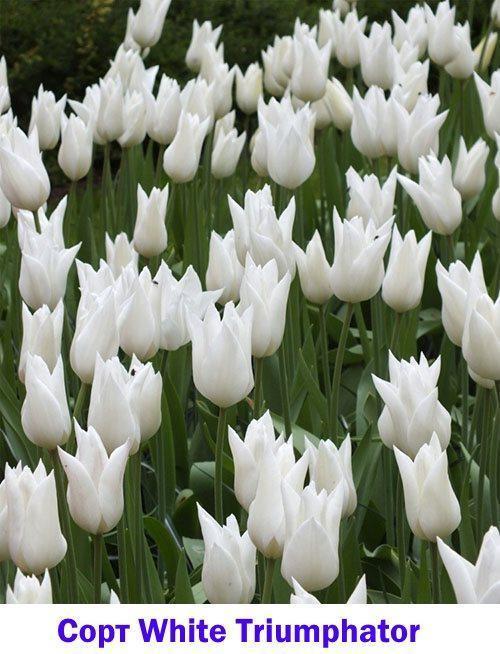 Белый тюльпан White Triumphator