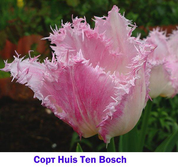 Тюльпан сорта Huis Ten Bosch