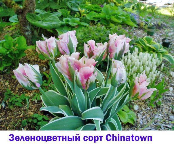 Зеленоцветный тюльпан с пестрой листвой Chinatown