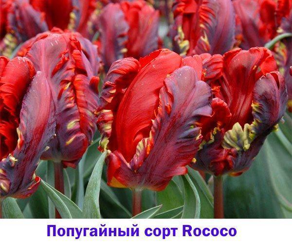 Тюльпан Rococo, один из первых и наиболее популярных попугайных сортов