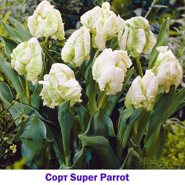 Белый тюльпан сорта Super Parrot