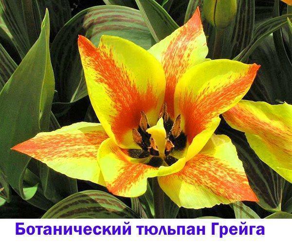 Ботанический тюльпан Грейга