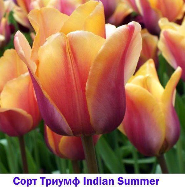 Тюльпан Триумф Indian Summer