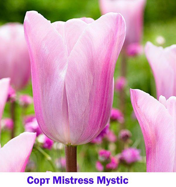 Тюльпан Mistress Mystic