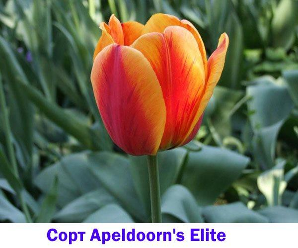 Тюльпан сорта Apeldoorn's Elite