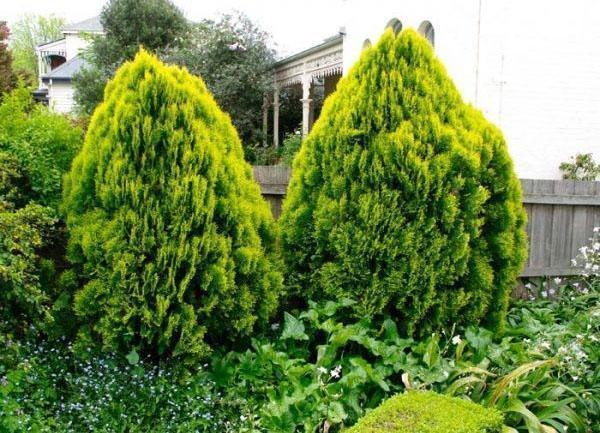 туя Ауреа Нана в саду