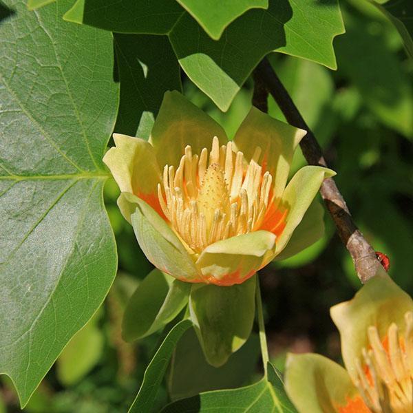 тюльпановое дерево или Liriodendron tulipifera.