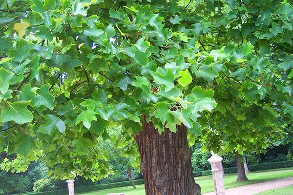 тюльпановое дерево в парковой зоне
