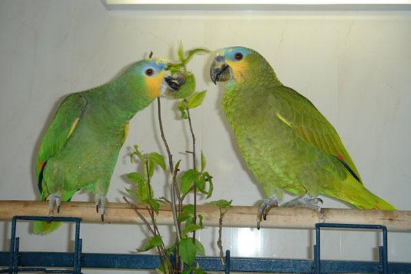 веточный корм для попугайчиков