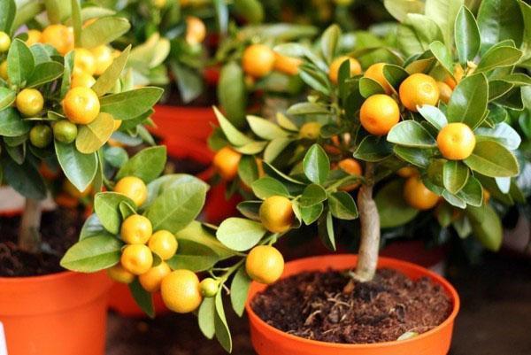 выращивание мандарина дома
