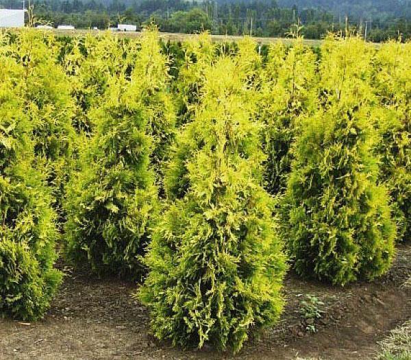 выращивание туи Еллоу Риббон в питомнике