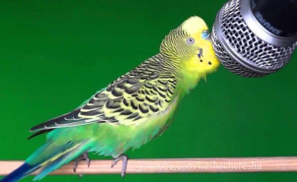ухоженный здоровый волнистый попугайчик
