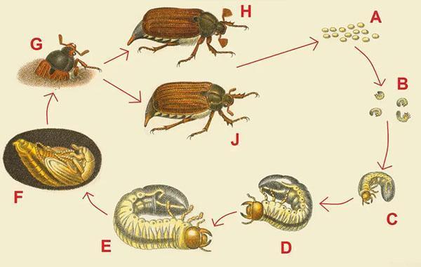 цикл развития майского жука